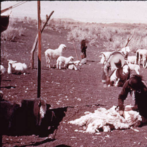 Navajo Man Shearing Sheep for Wool